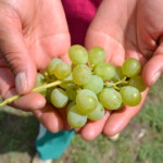 Grapes_Aguiar